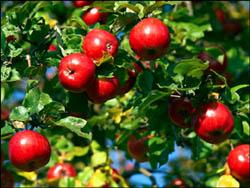 энергетика яблони